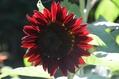 ミラチョコに赤い花