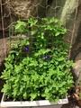 蝶豆の花😊