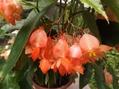 木立性ベゴニアが花付き良くなってます♪