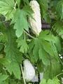 純白ゴーヤ収穫
