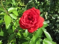 赤薔薇2・紫陽花・白コスモス