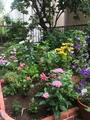 夏花壇②   トルコギキョウ咲きました(^_^)v