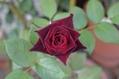 ブラックバッカラ二番花