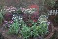 花壇のジニアが咲き出しました