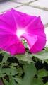 花びらが大きすぎる朝顔☆