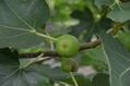 実のなる木 鉢植え果樹