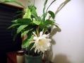 月下美人が咲きました。