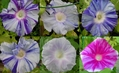 絞り咲き朝顔(混合)さて花の色は?