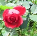 今日のバラ 7.22