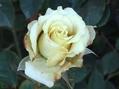 今朝のバラ②