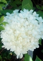 クイーンエリザベス&紫陽花&ミニバラ