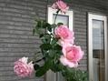二番花も終わりかな?ピンクアナベル