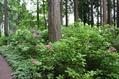 秩父宮記念公園のアジサイ