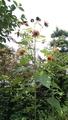 やや非力なヒマワリ開花
