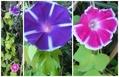 花色の変化?朝顔「富士の紫」