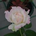 3番花…「夜来香」‼️