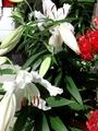 カサブランカが咲きました!