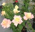 今日元気なバラ…「ピース」‼️