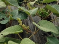 エビヅルの雌花