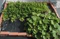 アサガオ開花 落花生とサツマイモは元気