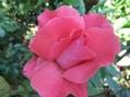 のんびり組みのバラ/面白い形の二番花/