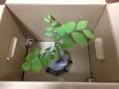 ミニ盆栽大作戦 〜お手入れ〜 フジブナ 葉焼け対策