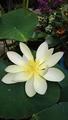 碧翠蓮、咲きました。
