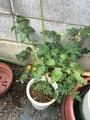 トマトの挿し木⁉️