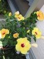 ハイビスカス・薔薇(クリーミーエデン)・変わり向日葵