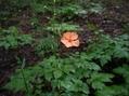 赤城自然園のレンゲショウマ