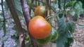 毎日収穫できる我が家のトマト