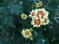 夏菊が咲き始めました