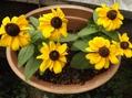 ダリア、ルドベキア、キンカンの花♪