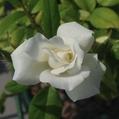 3番花…「アイスバーグ」‼️