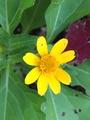 種まきアサガオの開花