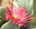 サマーレッド 開花(コノフィツム 夏咲種)