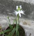 サギ草2品種開花