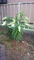 カサブランカ咲きそうです