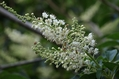 木の花を覚えよう 7 リョウブ