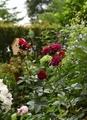 シュートの房咲き