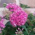八重咲きペンタス
