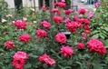 夏のバラ管理 薬剤