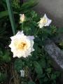 お散歩で見つけた……綺麗な薔薇!