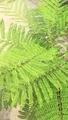 ジャカランダの葉です  ♪