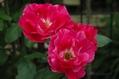 今日のバラ ③