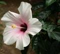ハイビスカスの最後の花