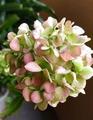 カンノンチクの花