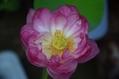蓮 3日間の花