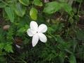 ピンクゼラフィンサス・薔薇(みさき)・ジャスミン
