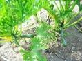 ズッキーニ収穫20160726